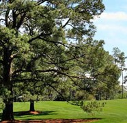 Bye Bye IKE's Tree @ Augusta National